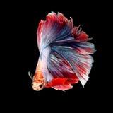 Pescados que luchan siameses de lujo, pescados del betta imagenes de archivo