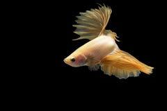 Pescados que luchan siameses en la acción, foco en el ojo derecho de los pescados, cerrado-para arriba con el fondo negro, técnic Fotografía de archivo libre de regalías