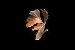 Pescados que luchan siameses, naranja, pescado del betta en fondo negro Imagen de archivo