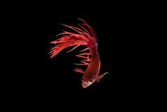 Pescados que luchan siameses, naranja, pescado del betta en fondo negro Imagenes de archivo
