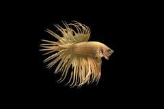 Pescados que luchan siameses, oro, pescado del betta en fondo negro Imágenes de archivo libres de regalías