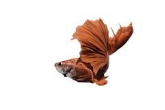 Pescados que luchan siameses rojos en fondo aislado Imagen de archivo libre de regalías