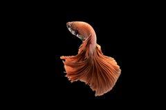 Pescados que luchan siameses rojos en fondo negro Fotos de archivo