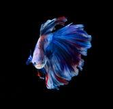 Pescados que luchan siameses rojos y azules, pescados del betta aislados en negro Imagen de archivo