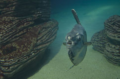 Pescados que nadan cerca de rocas Imagenes de archivo
