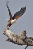 Pescados que vuelan Eagle africanos que saca de árbol muerto Fotos de archivo