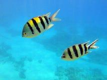 Pescados rayados Fotografía de archivo