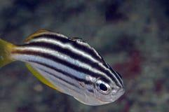 Pescados rayados Fotografía de archivo libre de regalías