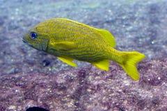 Pescados rayados amarillos y azules Fotos de archivo