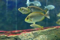 Pescados rayados del spinefoot Imagen de archivo libre de regalías