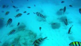 Pescados rayados que nadan almacen de video