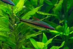 Pescados rayados rojos y negros delante de waterplants verdes Fotos de archivo libres de regalías