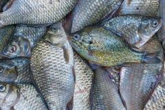 Pescados recién pescados del río Crucians y perca del sol Buen retén fotografía de archivo