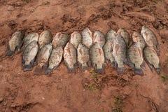 Pescados recién pescados de Tilapa en el lago Kariba Imagen de archivo libre de regalías
