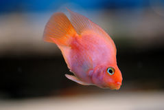 Pescados rojos Fotografía de archivo libre de regalías