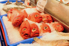 Pescados rojos con los ojos grandes Imágenes de archivo libres de regalías