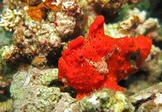 Pescados rojos de la rana (Moalboal - Cebú - Filipinas) fotos de archivo libres de regalías