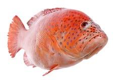 Pescados rojos de la Tilapia aislados Fotos de archivo libres de regalías