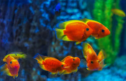 Pescados rojos debajo del agua Imagenes de archivo