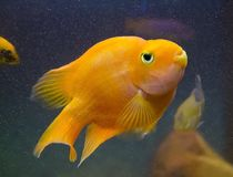 Pescados rojos del acuario del loro en agua azul imagen de archivo