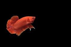 Pescados rojos del betta Fotografía de archivo