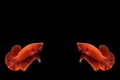 Pescados rojos del betta Fotos de archivo