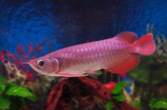 Pescados rojos del dragón Fotografía de archivo libre de regalías