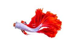 Pescados rojos del dragón de la media luna Fotos de archivo