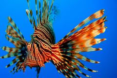 Pescados rojos del león Imagen de archivo libre de regalías