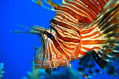 Pescados rojos del león Imágenes de archivo libres de regalías