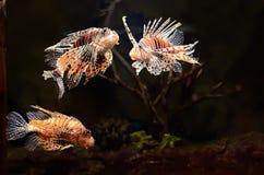Pescados rojos del león (millas del Pterois) Foto de archivo