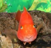 Pescados rojos del loro. Fotografía de archivo