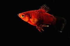 Pescados rojos en agua oscura Foto de archivo libre de regalías