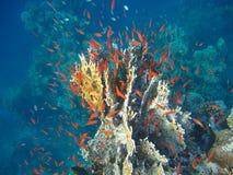 Pescados rojos en el agua azul Fotografía de archivo