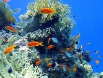 Pescados rojos en el Mar Rojo Imagen de archivo