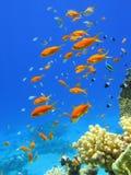 Pescados rojos en el Mar Rojo Fotografía de archivo