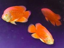 Pescados rojos hermosos fotografía de archivo libre de regalías