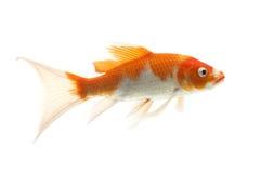 Pescados rojos y blancos de Koi Imagenes de archivo