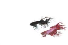 Pescados rojos y negros del betta Fotografía de archivo libre de regalías