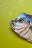 Pescados secados Vomero Fotos de archivo libres de regalías