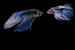 Pescados siameses de la lucha Fotos de archivo