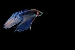Pescados siameses de la lucha Imagenes de archivo