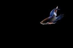 Pescados siameses de la lucha Foto de archivo