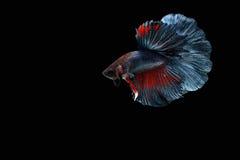 Pescados siameses de la lucha Imágenes de archivo libres de regalías