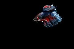 Pescados siameses de la lucha Fotografía de archivo libre de regalías