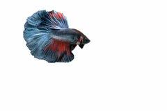 Pescados siameses de la lucha Foto de archivo libre de regalías