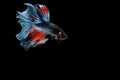 Pescados siameses de la lucha Imagen de archivo libre de regalías