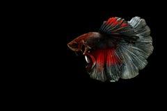 Pescados siameses de la lucha Fotografía de archivo