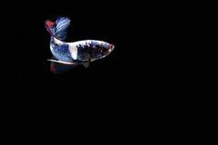 Pescados siameses de la lucha Fotos de archivo libres de regalías