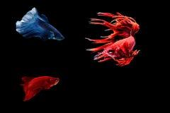 Pescados siameses de la lucha Imagen de archivo